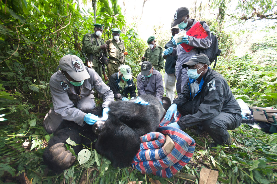 Guelph alumnus Mike Cranfield is co-director of Gorilla Doctors, which is committed to saving gorillas from extinction.