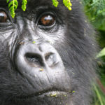 Gorilla Doctors brings veterinary care to the jungle floor to save critically endangered mountain gorillas