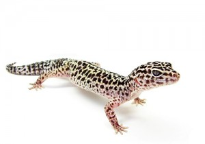 Researching geckos to help the human healing process.