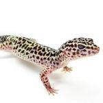 How studying geckos can help the human healing process