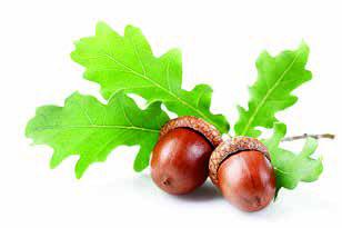 vimy ridge acorns