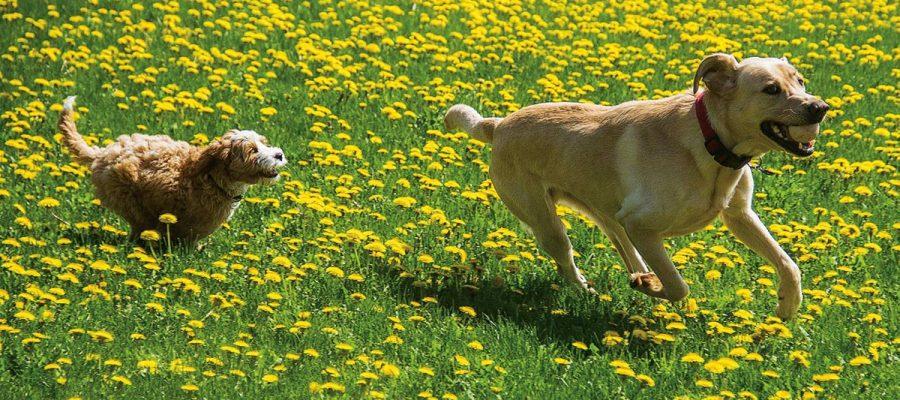 Dogs running in a field