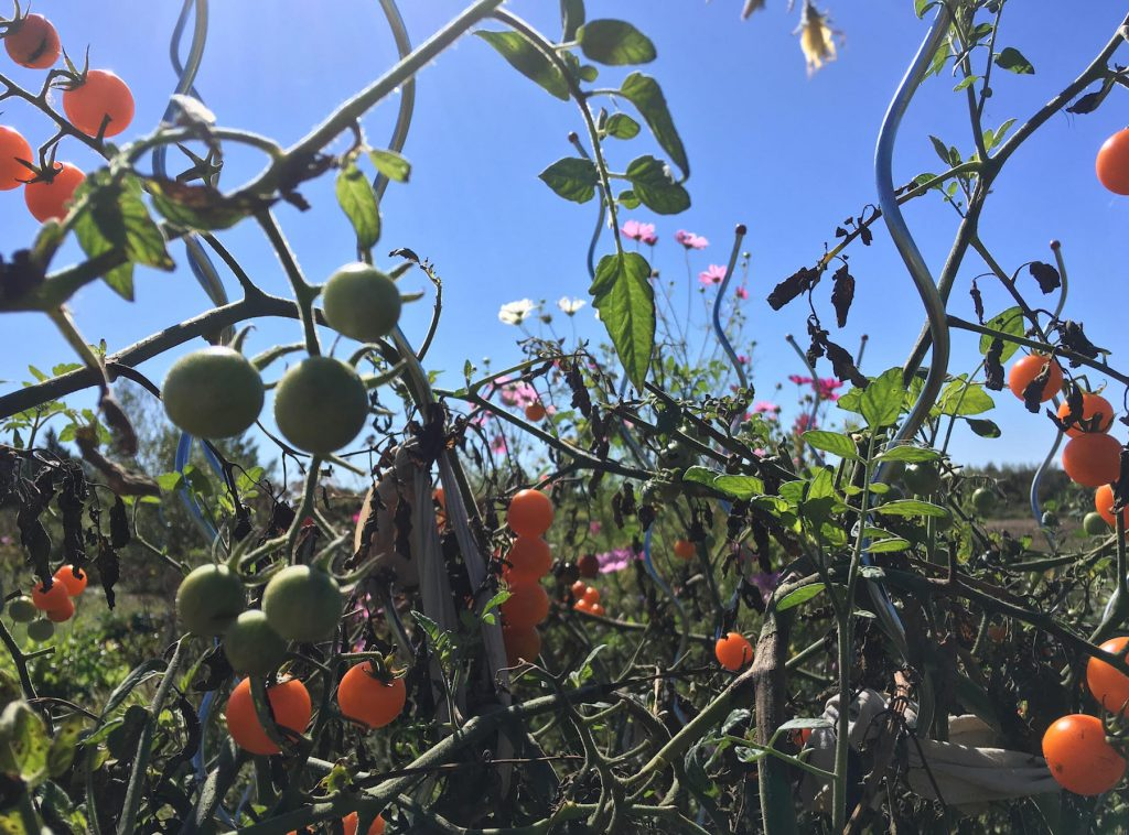 Tangled garden with small orange tomatoes